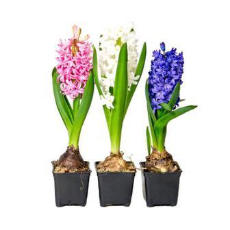 Гиацинт цветы 1шт